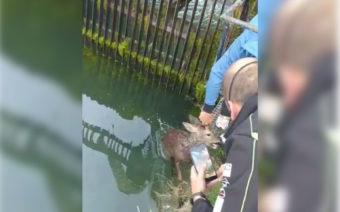 Una hora de odisea para rescatar un corzo en el canal de la Estanca de Alcañiz