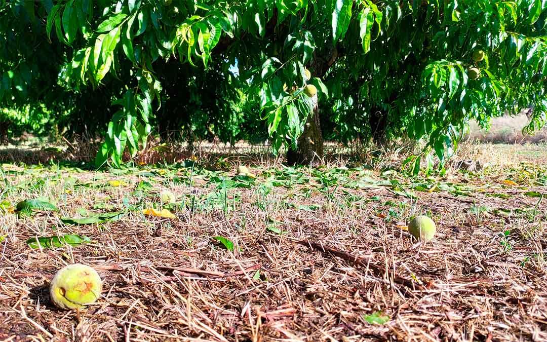 Campo de albaricoque dañado en Valmuel./ José David Gil