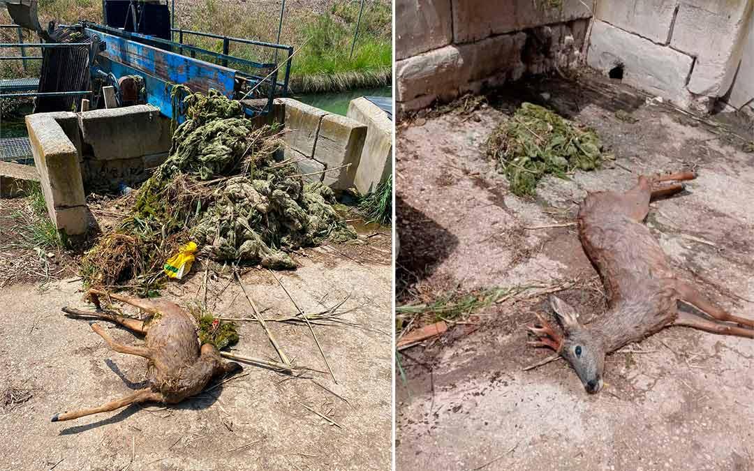 Dos corzos fallecidos esta última semana en el canal de la Estanca de Alcañiz./ Javier Boné