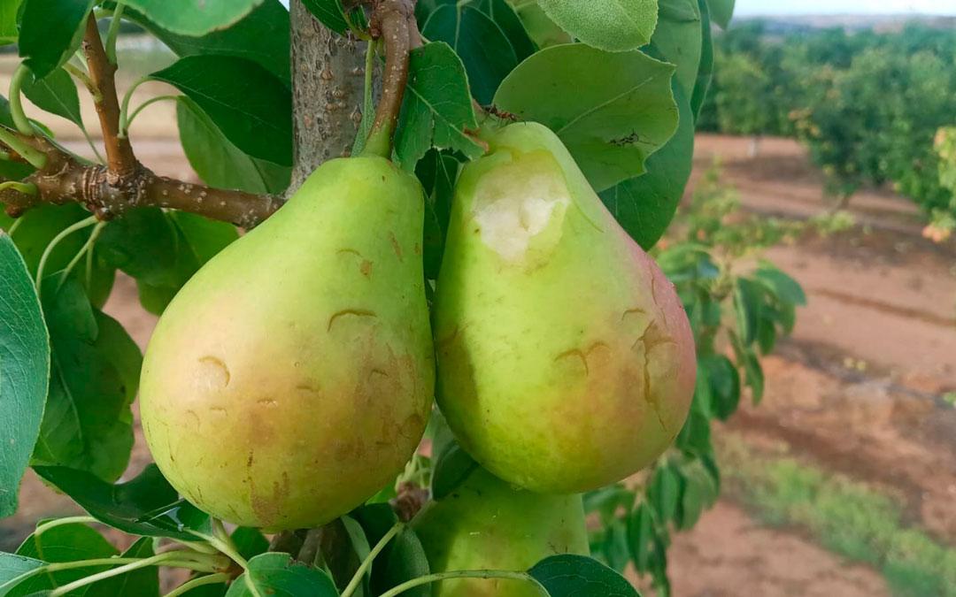 Imagen de la fruta dañada por el temporal en Caspe / Fuente: J. A. Palacios