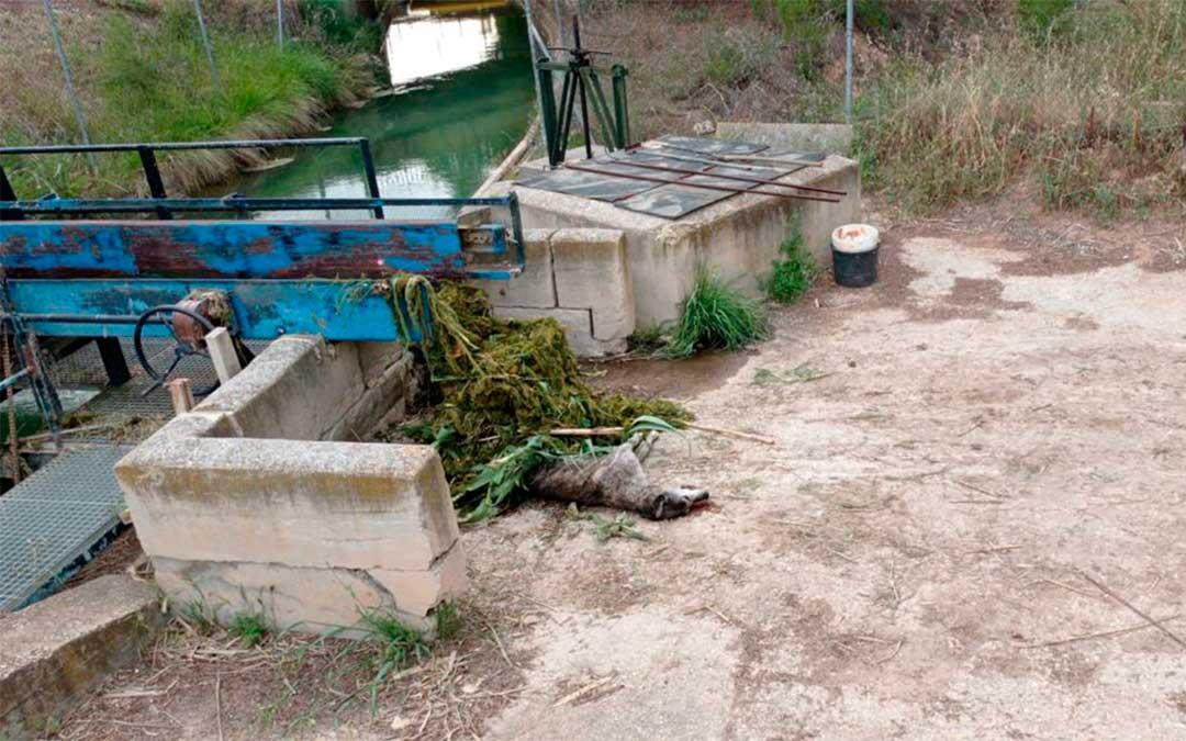 Galgo ahogado hace unos días en el canal de la Estanca de Alcañiz./ Sociedad de Cazadores de Alcañiz