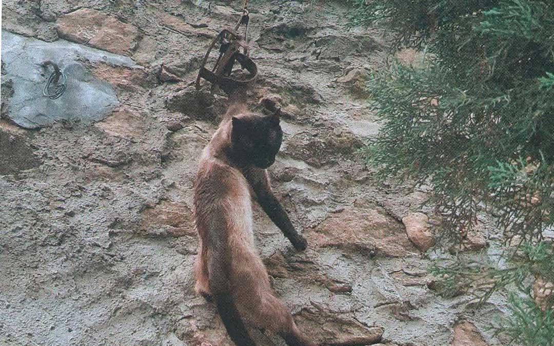 El animal quedó suspendido de la trampa / Guardia Civil