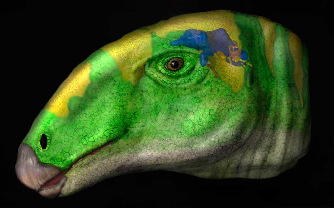 Reconstrucción de la cabeza de Proa con el encéfalo coloreado en azul./ S. Lautenschlager
