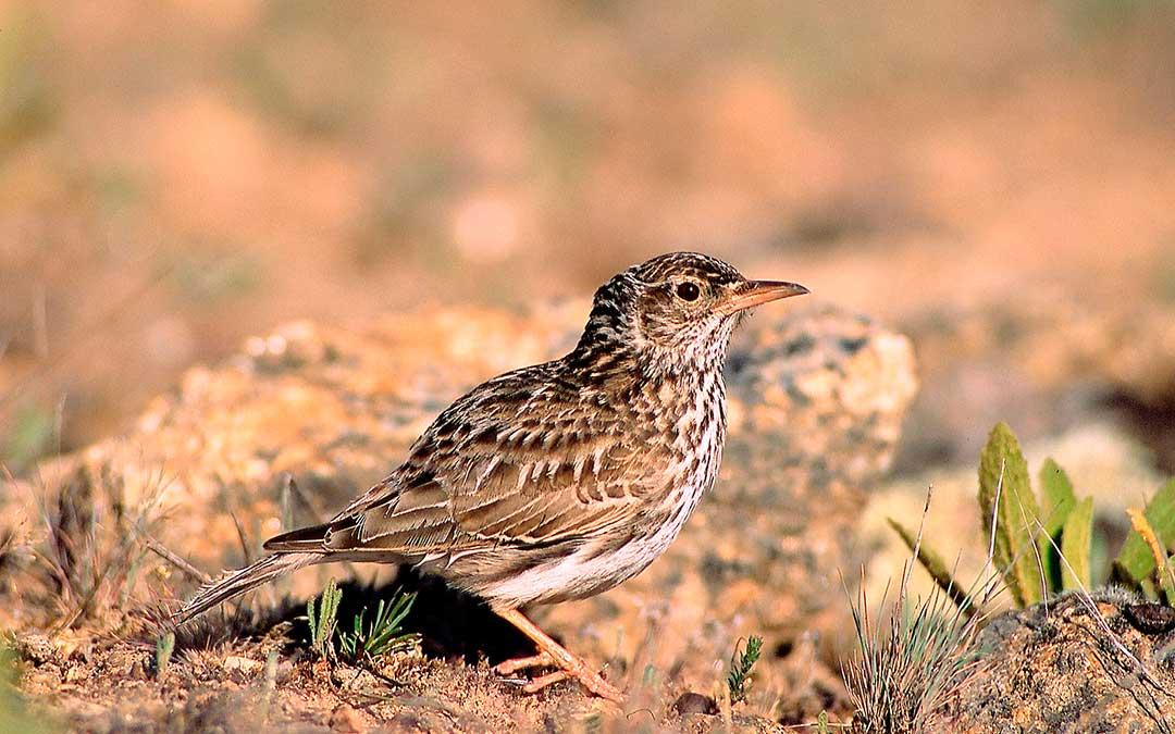 El rocín es una especie en peligro de extinción./ SEO/BirdLife