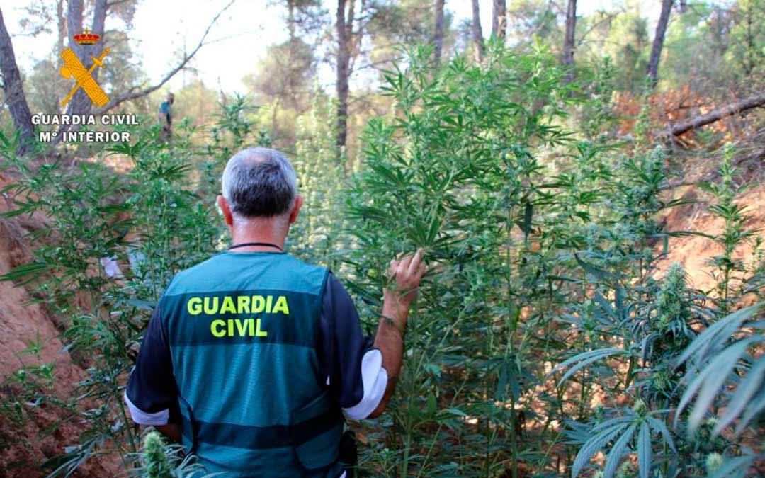 Desmantelada en Mequinenza una plantación de marihuana./ Guardia Civil
