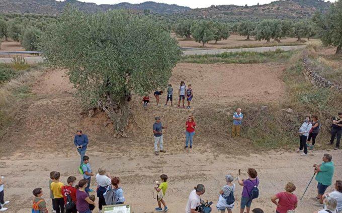 La Codoñera pone en valor tres nuevas rutas que recorren sus 20 oliveras centenarias