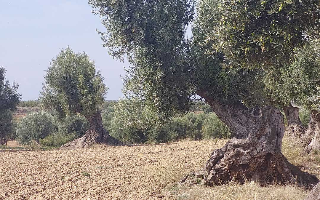 La localidad atesora un gran número de olivos centenarios. J.L.