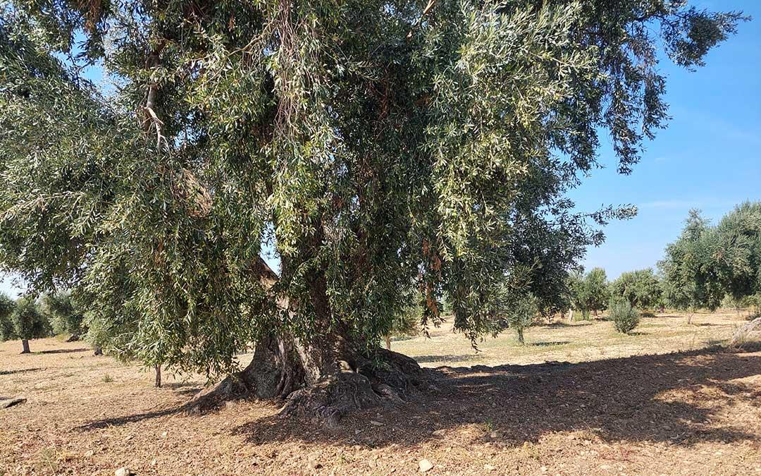 Con sus 800 años la olivera de Mir producirá este año en torno a 2 moladas -unos 360 kilogramos- de olivas. Javier de Luna.